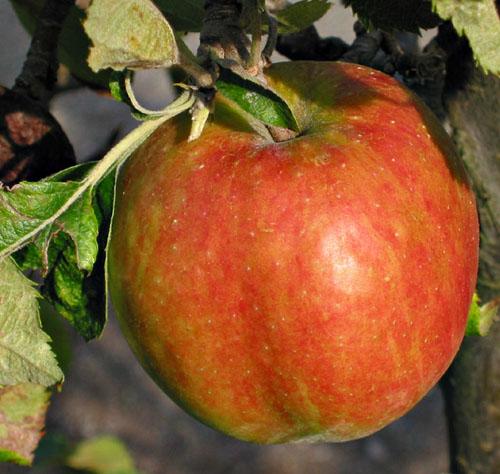 Apple 'Jonagold' Semi-Dwarf