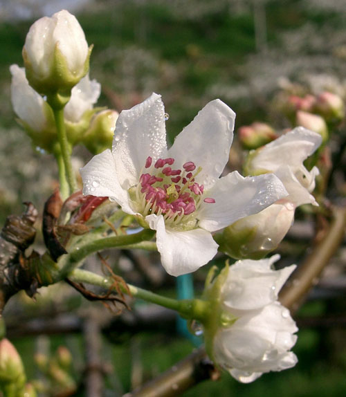 Asian Pear 'Chojuro'