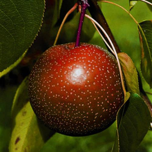 Asian Pear 'Korean Giant'