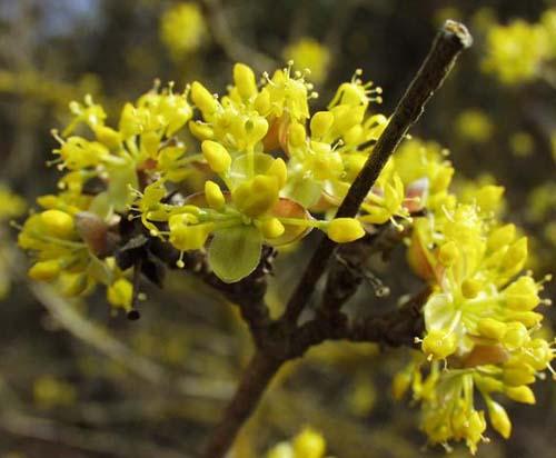 Golden Glory corneliancherry dogwood