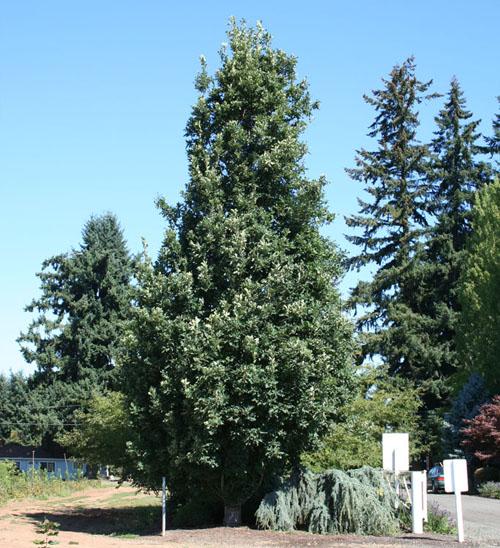 Crimson Spire oak