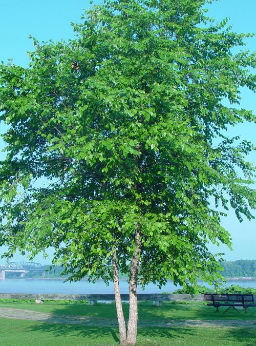 Dura Heat River Birch