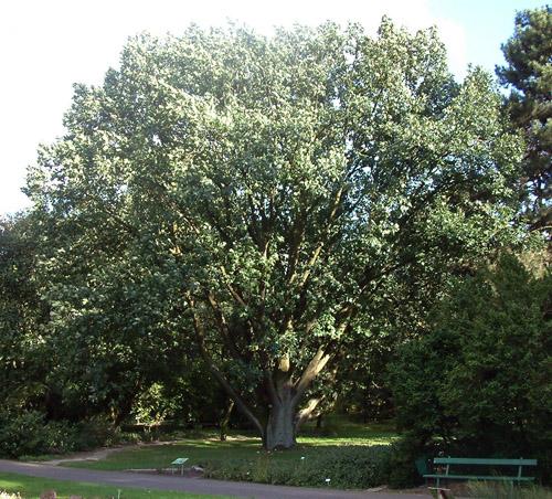 Forest Green Oak