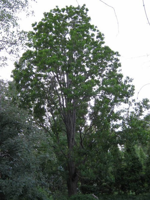 Columnar Goldenrain Tree