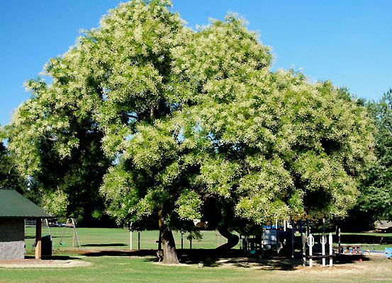 Japanese Pagodatree