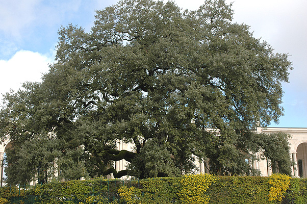 Holly (or Holm) Oak