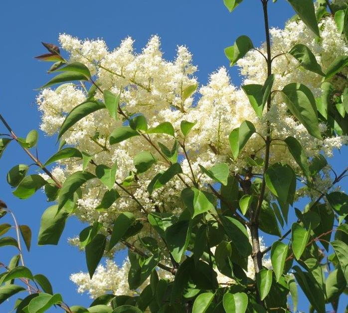 Summer Charm Japanese Tree Lilac