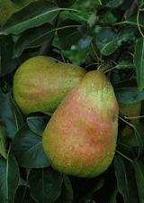 Pear 'Rescue'