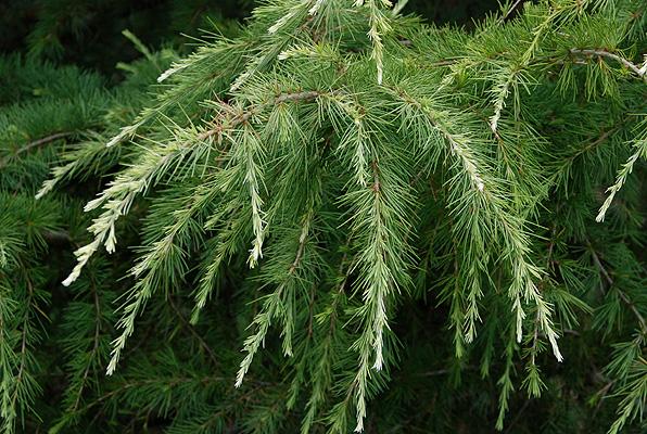 White-tipped deodar cedar