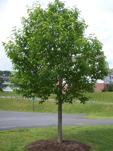 Hardy Rubber Tree