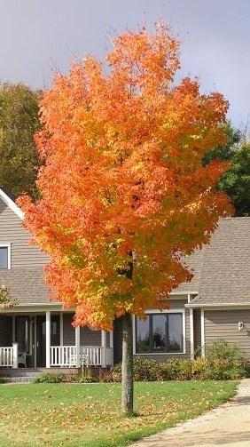 Green Mountain Maple