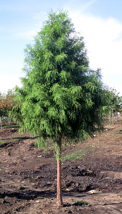Shawnee Brave bald cypress