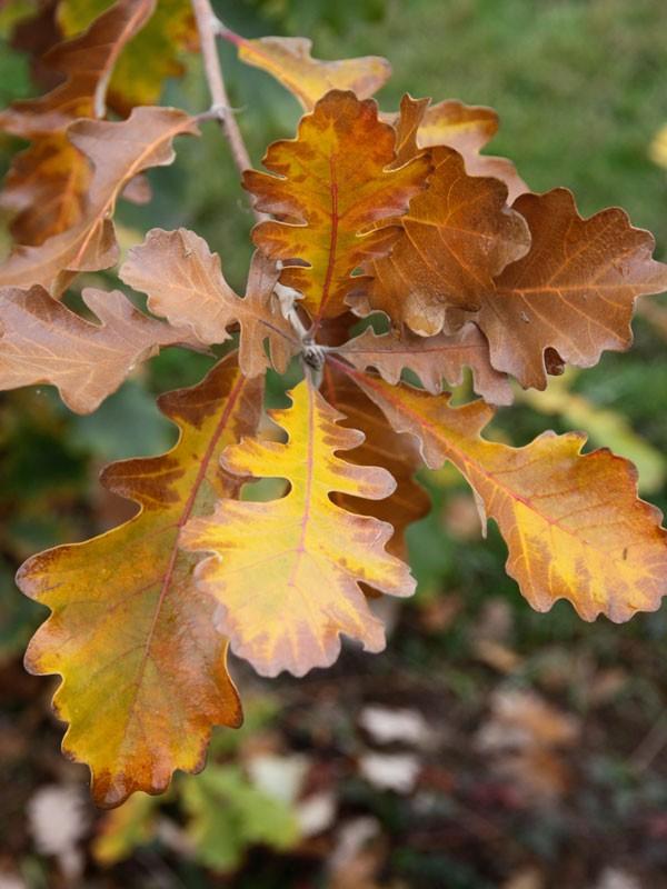 Urban Pinnacle oak