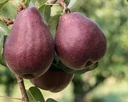 Pear 'Red Bartlett' Semi-Dwarf