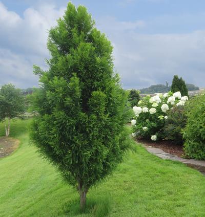 Lindsey's Skyward bald cypress