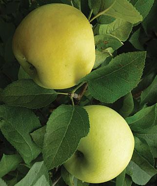 Apple 'Pristine' semi-dwarf