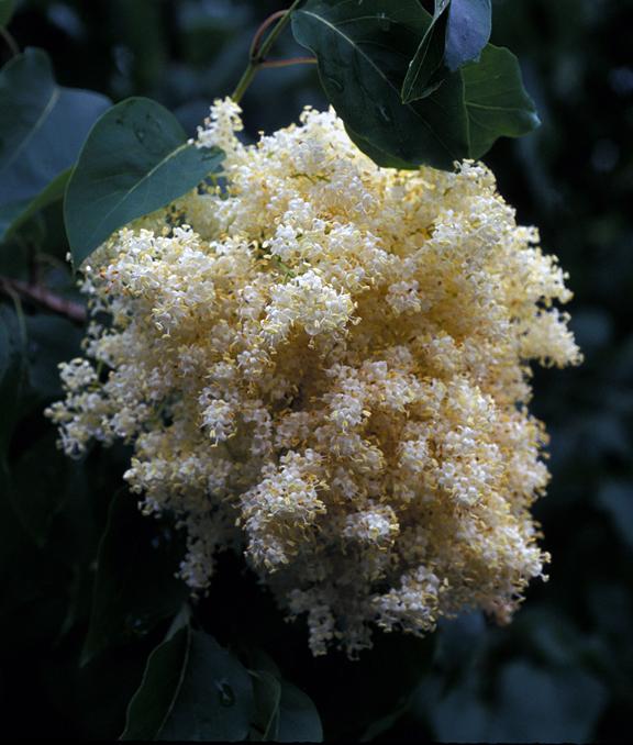 China Snow tree lilac