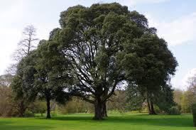 Holly or Holm oak
