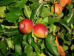 Apple 'Gala' semi-dwarf
