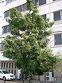 Bamboo-Leaf Oak