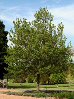 Queen Elizabeth Hedge Maple