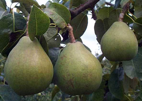 Pear 'Comice' semi-Dwarf