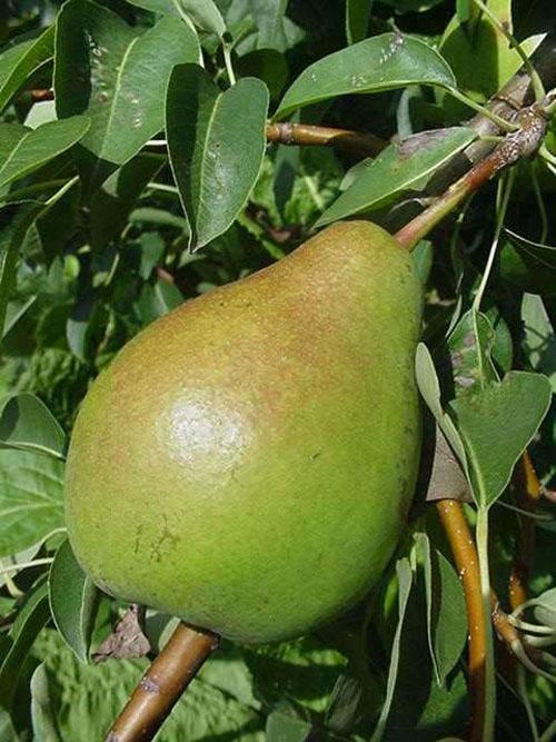 Pear 'Moonglow' Semi-Dwarf