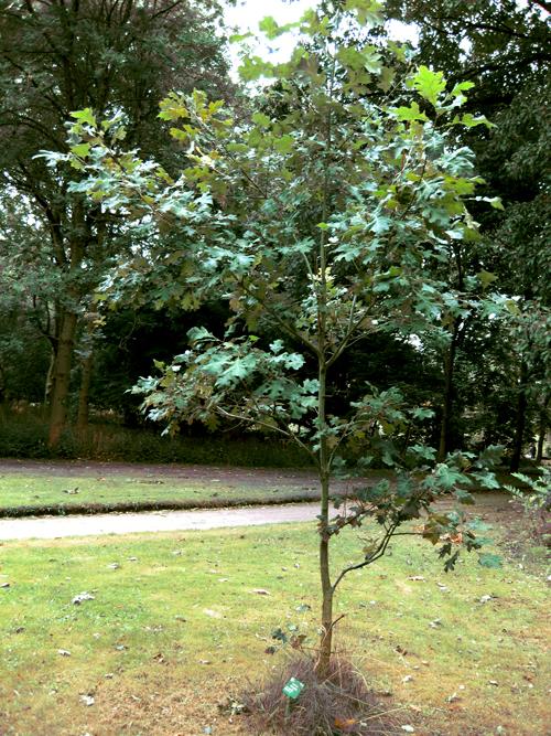 Shumard oak